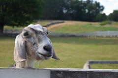 Eine Ziege an einem schönen Bauernhof Stockfotografie