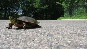 Eine Zierschildkröte stock footage