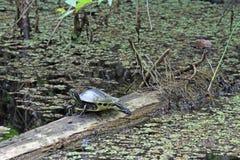 Eine Zierschildkröte auf einem Klotz stockfoto