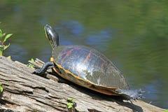 Eine Zierschildkröte auf einem Klotz Stockbild