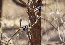 Eine Zusammensetzung von zwei Fotos gemacht von einem blauen feenhaften Zaunk?nig Supurb lizenzfreie stockfotografie