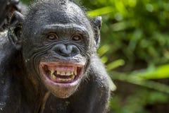 An einem Abschluss der kurzen Entfernung herauf Porträt von Bonobo mit Lächeln Der Bonobo (Pan-paniscus), Lizenzfreie Stockbilder