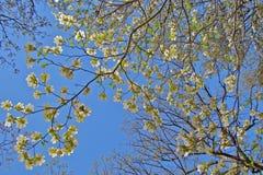 einem blauen Himmel durch eine Hartriegelblüte oben betrachten Stockfotos
