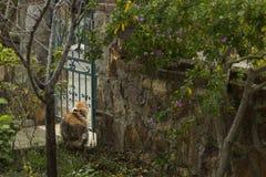 In einem Garten eine dreifarbige Katze mit roten Kragenstarren durch die Eisenform-Gartentür stockfoto