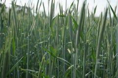 In einem Getreidefeld Lizenzfreies Stockbild