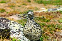 An einem hellen, sonnigen Sommertag ein wilder Vogel, sitzen ein graues Rebhuhn Lizenzfreie Stockbilder