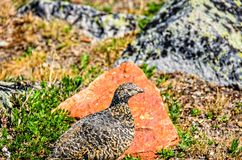 An einem hellen, sonnigen Sommertag ein wilder Vogel, sitzen ein graues Rebhuhn Stockfotos