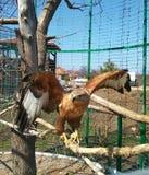 In einem Käfig auf einer Niederlassung eines Adlers Lizenzfreies Stockbild