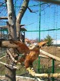 In einem Käfig auf einer Niederlassung eines Adlers Stockfoto