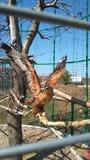 In einem Käfig auf einer Niederlassung eines Adlers Stockbild
