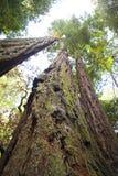 einem Rotholzbaum oben betrachten Stockfoto