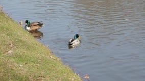 Einem Teich del auf dello schwimmt di Stockenten Erpel video d archivio