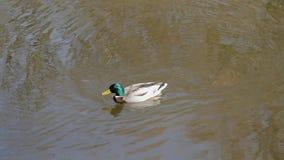 Einem Teich del auf del schwimmt de Stockenten Erpel almacen de metraje de vídeo