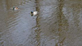 Einem Teich för Stockenten Erpel schwimmtauf stock video