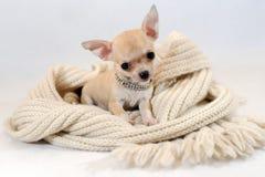 In einem warmen Platz - Chihuhua-Welpe im Schal Lizenzfreie Stockfotografie