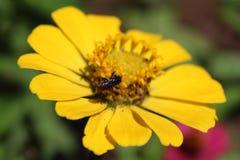 Einen sammelnden Blütenstaub genießen, Lizenzfreies Stockfoto