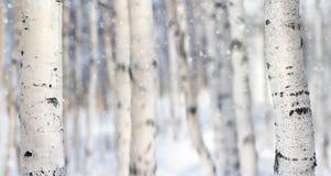 in einer Birkenwaldung Stockfoto