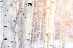 in einer Birkenwaldung Lizenzfreie Stockfotos