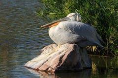 Einer der größten Vögel in Nordamerika, mit einer 9-Fuß-Spannweite Ähnlich Brown-Pelikan in Form aber viel größer und sehr stockfotos