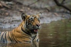 In einer Monsunzeit und an einem regnerischen Tag dieses männliche Tigerjunge, das in der Natur an der ranthambore Tigerreserve,  stockfoto