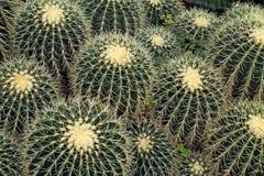 einer Sammlung des Fass-Kaktus unten betrachten Lizenzfreies Stockfoto