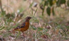 Eines Jugendlicher Rüppells Robin-Schwätzchen Stockfotografie