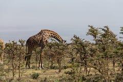 Eines Rothschilds Giraffe, die Blätter isst Lizenzfreie Stockfotografie