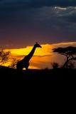 Eines Rothschilds Giraffe, die vor dem Sonnenuntergang geht Stockbilder