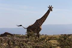 Eines Rothschilds Giraffenmutter und sein Kalb Stockbild