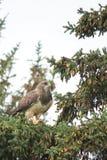 Eines Swainsons Falke Lizenzfreie Stockbilder