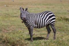 Eines weiden lassendes Burchells Zebra Lizenzfreies Stockfoto