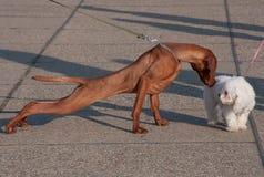 Einführung von zwei Hunden Stockfoto