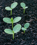 Einfach, Samen zu wachsen Lizenzfreies Stockfoto