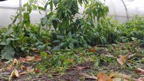 Einfach zu bearbeiten und zu ändern Herbstblumen im kalten regnerischen Wetter haushalt stock video footage