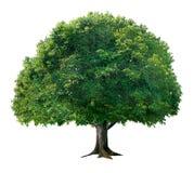 Einfacher Apfelbaum Stockfotografie