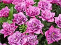 Einfacher dennoch schöner Blumenstrauß von rosa Tulpen Stockbild