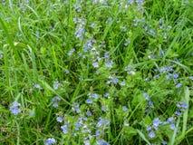 Einfacher mit Blumenhintergrund mit schönen leichten kleinen blauen Wiesenblumen des Birdwellaugengamander-ehrenpreises Stockfotos