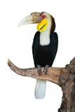 Einfacher-pouched Hornbill stockfoto