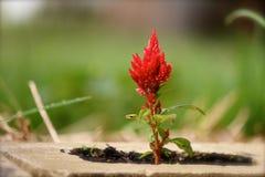 Einfaches Scharlachrot Blumen-im Ziegelstein-Topf Lizenzfreie Stockfotografie
