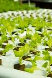 Einfaches Wasserkultursystem-wachsender Kopfsalat Lizenzfreie Stockfotos