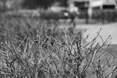 Einfarbiger Hintergrund mit Hecke keine Blätter stockbilder