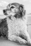 Einfarbiges Bild der roten und weißen gelockten behaarten Collieart Hund an einem Strand Lizenzfreie Stockfotos
