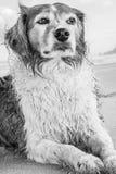 Einfarbiges Bild der roten und weißen gelockten behaarten Collieart Hund an einem Strand Lizenzfreies Stockbild