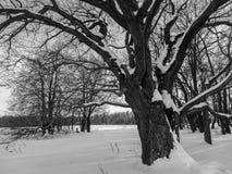 Einfarbiges Bild der Winterlandschaft Verzweigte alte Eiche mit tiefer Höhle in seinem enormen Stamm Lizenzfreie Stockfotos