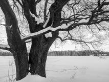 Einfarbiges Bild der Winterlandschaft Verzweigte alte Eiche mit tiefer Höhle in seinem enormen Stamm Stockfotos