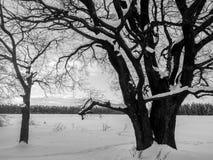 Einfarbiges Bild der Winterlandschaft Verzweigte alte Eiche mit tiefer Höhle in seinem enormen Stamm Stockfoto