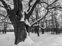 einfarbiges Bild Tiefe Höhle im enormen Schnee bedeckte alte Eiche Stockfotos