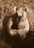Einfarbiges Portrait des weißen Nashorns lizenzfreie stockfotos