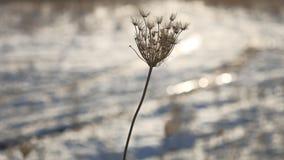 Einflüsse des trockenen Grases in der Windnaturwinter-Schneelandschaft fangen Steppe des Sonnengrellen glanzes auf stock video