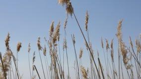 Einfl?sse des trockenen Grases im Park unter dem blauen Himmel stock video